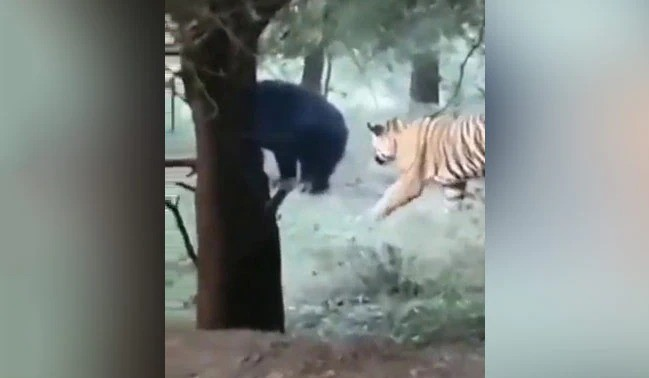 Watch How A Bear Turned The Tables On A Sneaky Tiger